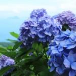 紫雲出山で、あじさい越しに眺める海と島々
