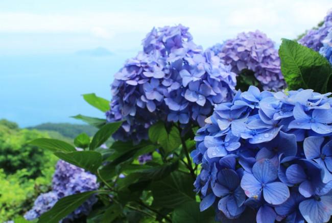 紫雲出山_あじさい_01