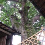 真鍋島のホルトノキを見てきました。