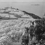 白い除虫菊の花に覆われていた高見島