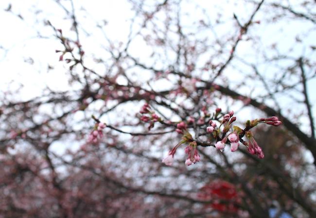 megijima_sakura