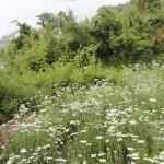 白い花の島。